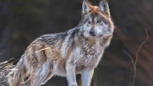 lobo-mexicano-animales